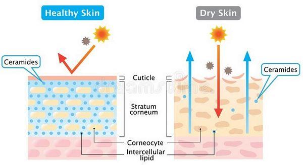 ceramides in skin