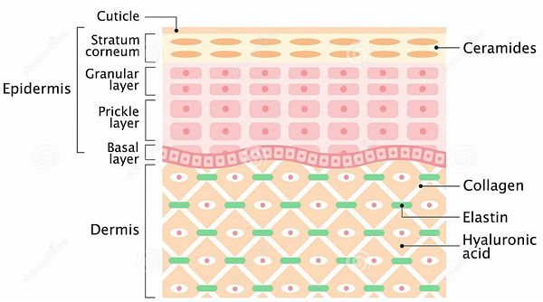 structure-human-skin-layer